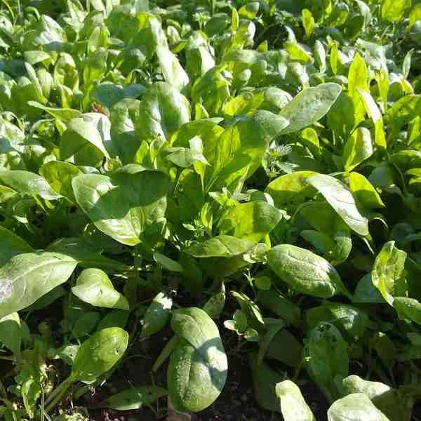 Espinacas bolsa 250gr. Verdura a domicilio. Huverfruit fruteria online